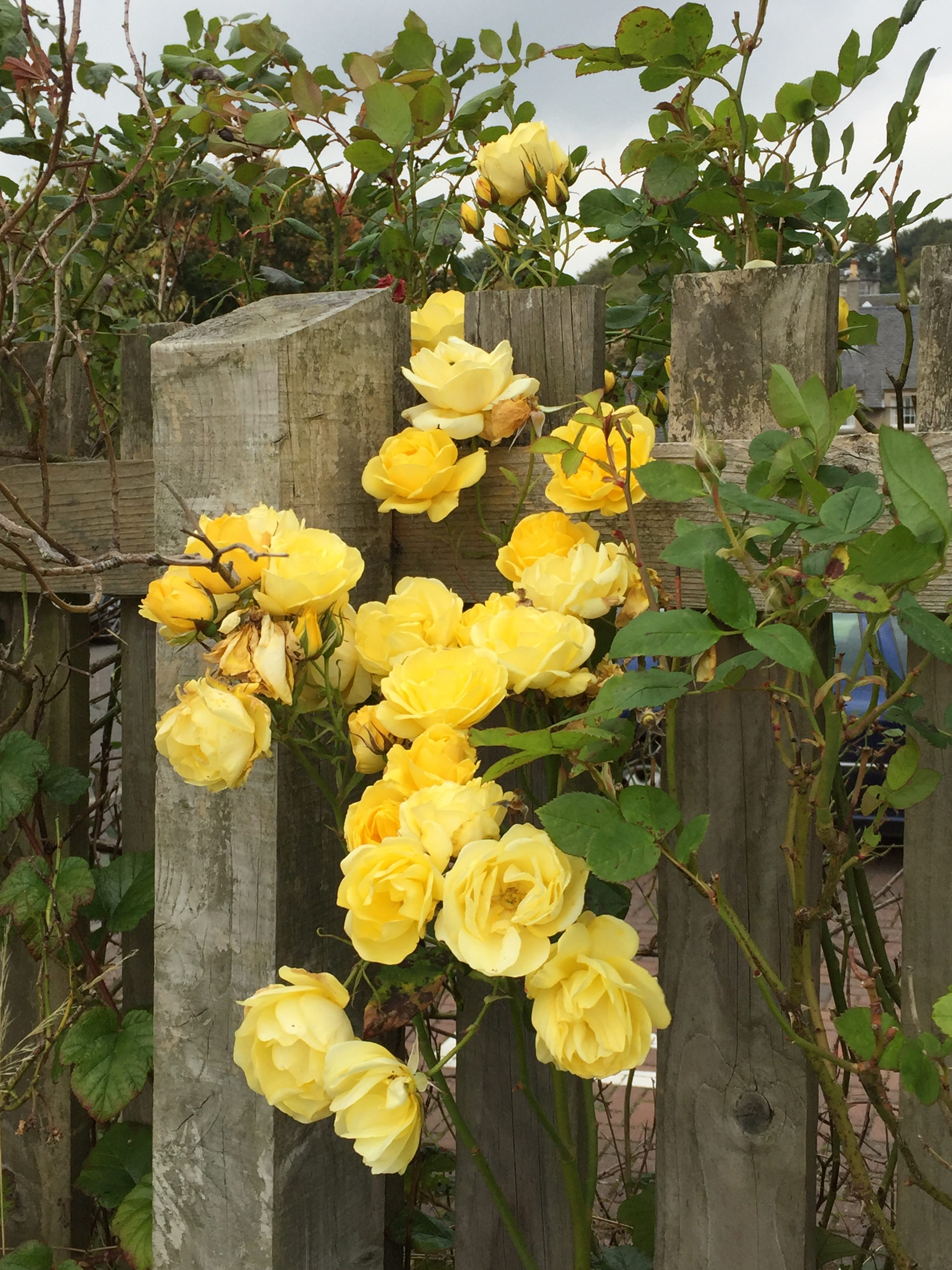 Yellow rose blossoms along a fence