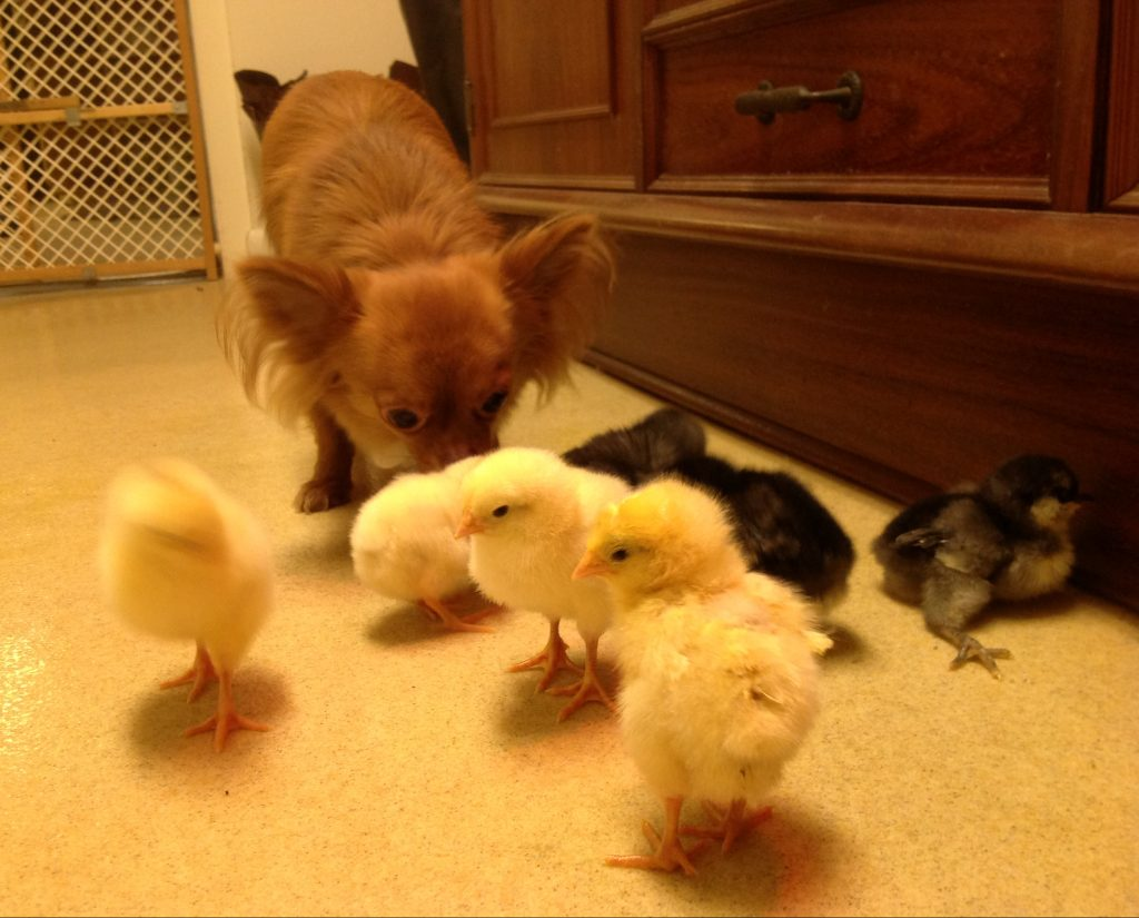 Chihuahua and baby chickens
